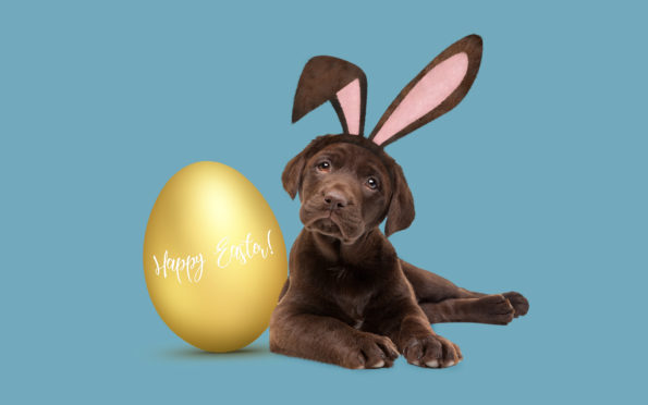 easter, chocolate lab, puppy